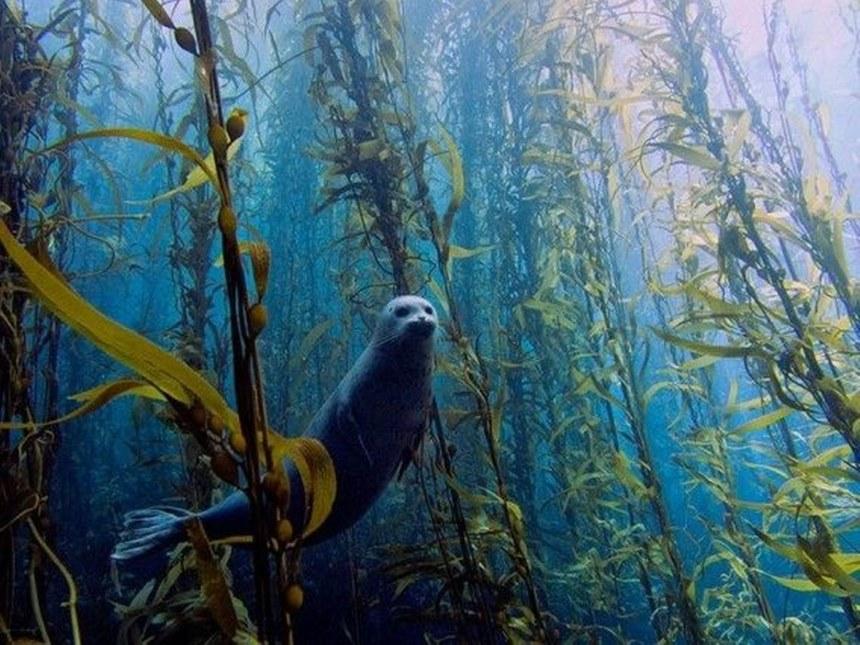 kelp forest, free diving, diving, ดำน้ำ, เที่ยว, แมวน้ำ, อุ๋ง